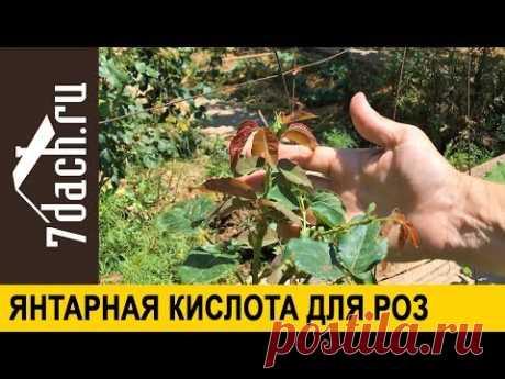 🌹 Янтарная кислота для роз. Повторное цветение и крепкие побеги - 7 дач