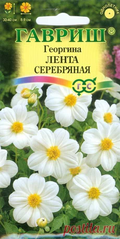 """Георгина """"Лента серебряная"""""""