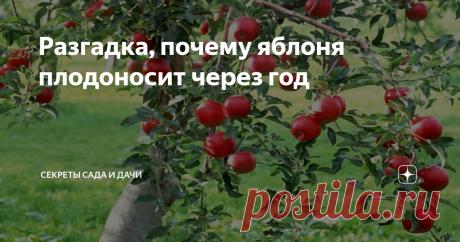 """Разгадка, почему яблоня плодоносит через год """"То пусто, то густо"""" — тайна странного постоянства плодовых деревьев в саду — имеет простые логические объяснения. Они связаны с особенностями яблони и, отчасти, внешними условиями."""