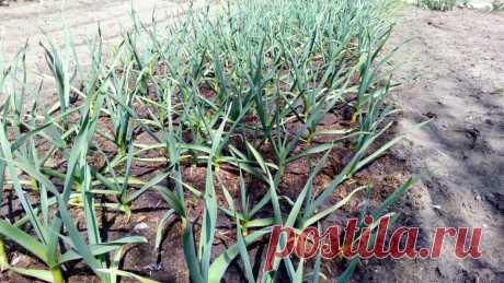 Простой агроприём увеличит головки чеснока на 30% при любой глубине посадки — подсказал агроном-профи   Маленький сад на краю Вселенной   Яндекс Дзен