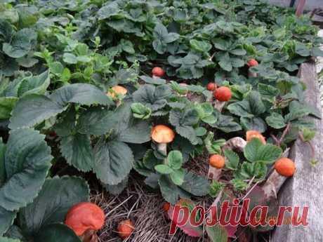 Как посеять белый гриб и подберёзовик на своём участке