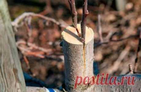Как и когда правильно прививать яблоню осенью Процедура используется для омоложения сада, адаптации нового сорта к почве, исправления кроны. Проводить ее можно круглый год, но для каждого сезона существуют свои правила, преимущества и недостатки....
