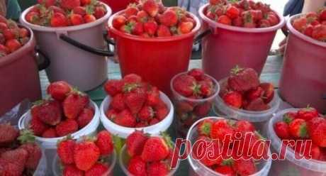 Moй coceд жaлуeтся, чтo нe ycпевает собирать ягоды - их так много. Говорит, что секрет в этой подкормке. Может кого то заинтересует, попробуйте. Состав: 1 стакан золы залить 1-2 литрами кипятка, до остывания, 2гр. марганцовки, 2гр. борной кислоты (порошок), 1 ст. ложка йода. Золу процедить, все это на ведро воды.Сразу намешиваю в бочку и опрыскиваю ,до полного смачивания листвы. Это и подкормка микро и макро элементами и борьба с вредителями.