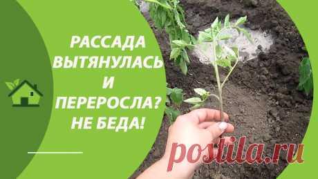Рассада томата переросла и вытянулась? Рассказываю как высадить помидоры в открытый грунт, почему желтеет рассада помидор после посадки и что делать для избежания, можно ли заглублять помидоры при посадке, чем и как подкормить после посадки.
