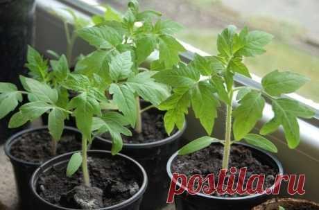 11 «нельзя» при выращивании рассады томатов.