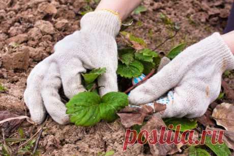 Уход за клубникой весной: как добиться максимального плодоношения | Земляника (Огород.ru)