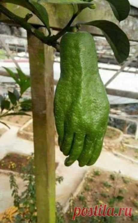 Уникальный представитель цитрусовых, известный как «Рука Будды» (Цитрон пальчатый)