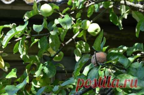 Чем обработать яблоню от плодовой гнили летом. Мой способ | Дачные секреты от Виктории Радзевской | Яндекс Дзен