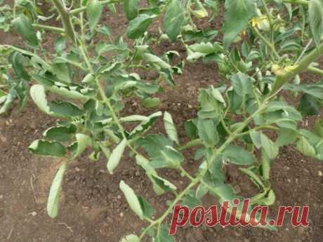 Закручивание листьев на томатах: какие меры нужно срочно предпринять, чтобы не остаться без урожая   Любимая дача   Яндекс Дзен