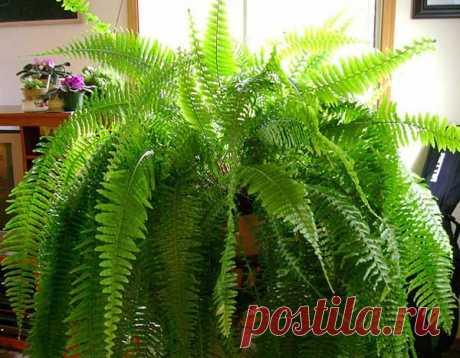 Уход и размножение в домашних условиях папоротника комнатного