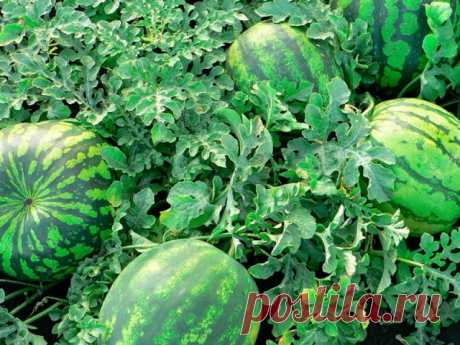 5 cunnings on cultivation of a melon field