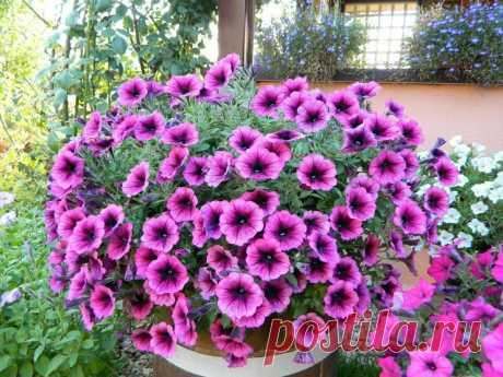 Пышное, обильное цветение петунии: очень всё просто и доступно, если знать несколько секретов | САД | Яндекс Дзен