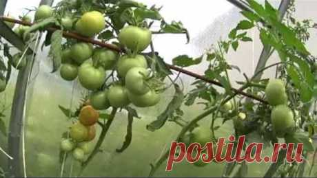 FITOFTOROZ!?! HOW TO RESCUE THE HARVEST OF TOMATOES!!!