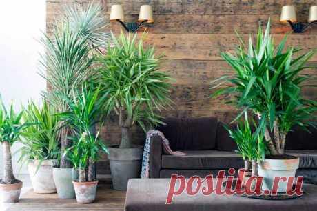 Юкка - семейства агавовые В семействе агавовых есть декоративное растение, которое очень легко спутать с пальмой. Саблевидные листья и необычный древовидный ствол заслуженно привлекает внимание цветоводов. У каждого любителя э...