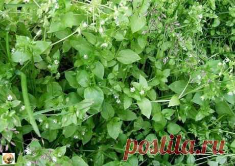 """""""Мокрица"""" сорняк, огородный доктор и полезная трава."""