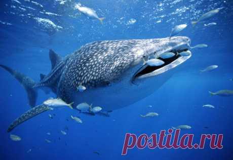 """Отличительные особенности.Обтекаемое тело, сплюснутая голова - характеризуют китовую акулу. Рот поперечный, очень большой и почти на кончике морды. Жаберные щели очень большие. Первый спинной плавник значительно больше, чем второй спинной плавник.   Китовая акула имеет цветовой узор """"шахматной доски"""" из светлых пятен и полос на темном фоне.Китовые акулы имеют сероватый, голубоватый или коричневатый окрас, с пятнами. Брюхо белое."""