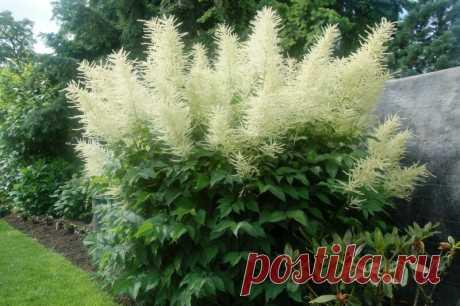 Арункус - травянистый многолетник с белыми пушистыми цветками | Наталья Кудрявцева | Яндекс Дзен