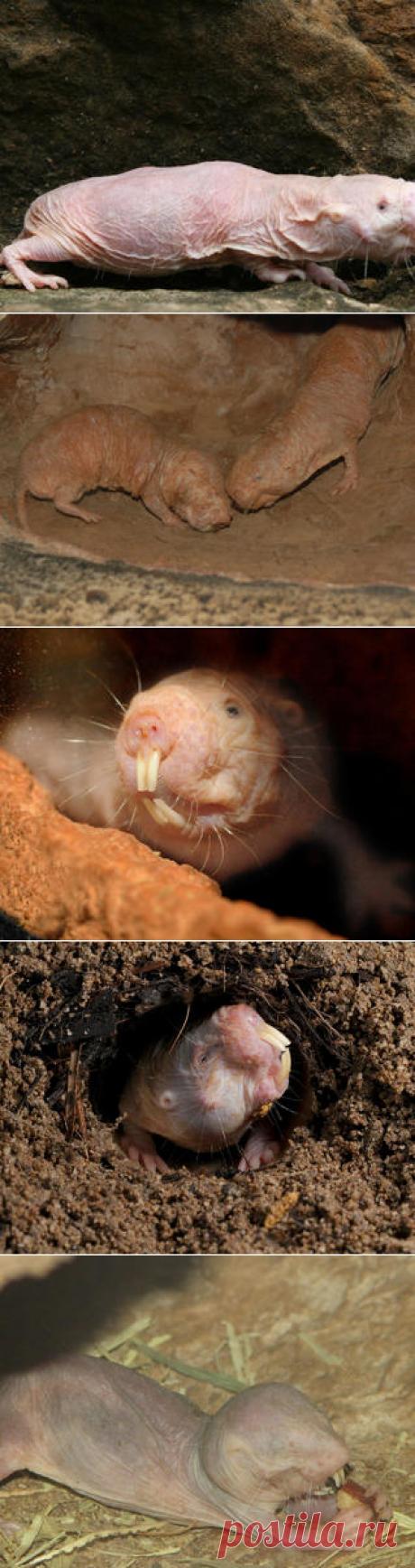 Смотреть изображения голых землекопов | Зооляндия