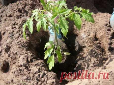Что необходимо класть в лунку при посадке помидоров? Полезные советы Томаты являются любимым овощем многих людей. Но для получения сочных и румяных плодов следует серьезно потрудиться, ведь помидор является достаточно требовательной культурой.