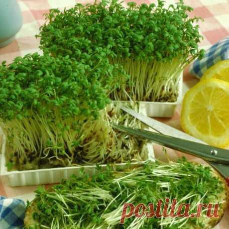 Как легко и быстро вырастить кресс-салат на подоконнике – В РИТМІ ЖИТТЯ