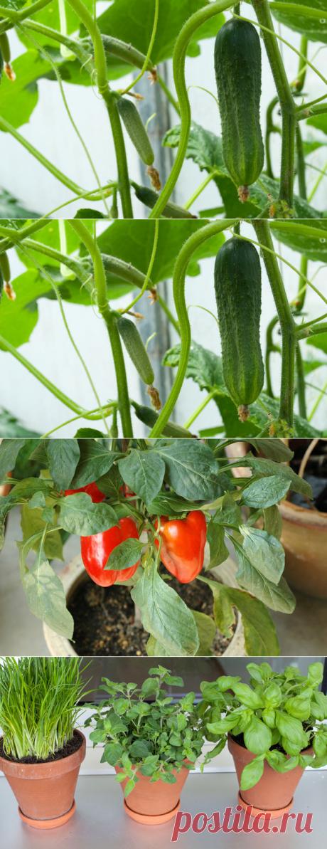 6 овощей, которые вы можете вырастить на подоконнике / домашний огород / 7dach.ru