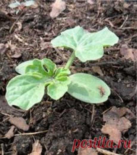 Выращивание рассады арбуза | ВО САДУ И В ОГОРОДЕ Выращивание рассады арбуза - рекомендации: выбор районированного сорта, подготовка семян, почвы для посадки, выращивание рассады, основной уход за культурой