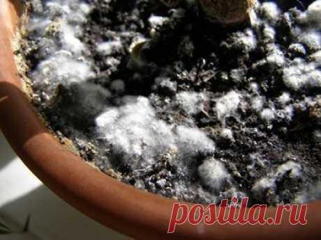 Как бороться с плесенью на почве в цветочных горшках.  Причины, по которым появляется плесень  Чаще всего причиной появления этой неприятности становится грибковая инфекция, которая возникает из-за повышенной влажности в квартире, низкой температуры, из-за маленьких дренажных отверстий, которые быстро забиваются и не дают излишней жидкости выходить наружу, а это, как известно, приводит к перенасыщению почвы и со временем к появлению плесени. Показать полностью…