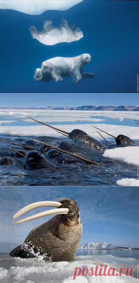Обитатели Арктики на фото Пола Никлена   НАУКА И ЖИЗНЬ