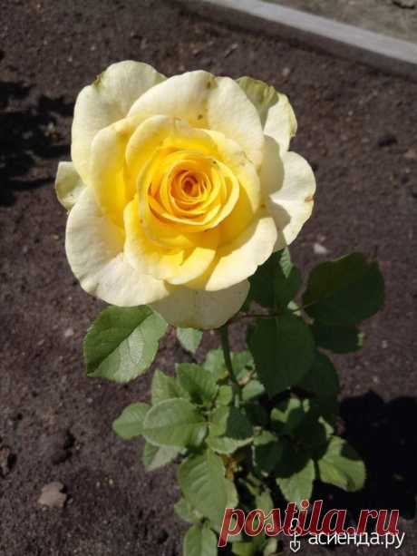 Rose it is not difficult. My experience of cultivation.: Group of the Bed and flower beds