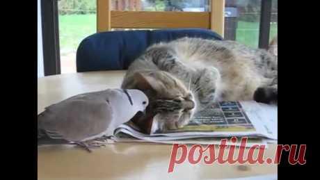 Влюблённый голубь достает котика!