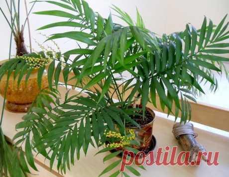 Как правильно ухаживать за пальмой дома