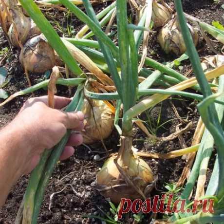 11 правил щедрого урожая лука