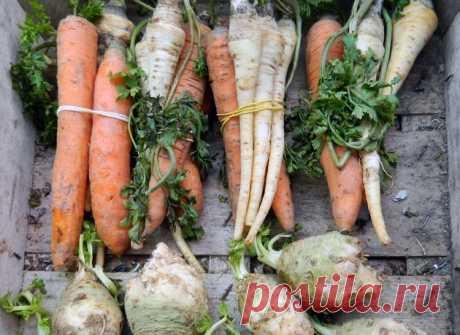 Какие овощи перезимуют на грядке, не потеряв товарные качества и полезные свойства - МирТесен