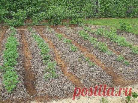 ВЫРАЩИВАНИЕ КАРТОФЕЛЯ В СОЛОМЕ Оказывается, можно получать хорошие урожаи овощей, на своём огороде не  прибегая к трудоёмкой и вредной для плодородного слоя земли, перекопке.  Воистину, наше трудолюбие губит плодородие! Солома экологически чиста. 1 часть соломы заменяет ...5 частей навоза.  На соломе выращивают не только картошку, но и землянику и клубнику т.к.  солома препятствует гниению ягод (от соприкосновения землёй) и улучшает  вкус. Картошку надо не закапывать в землю, а засыпать 20-санти
