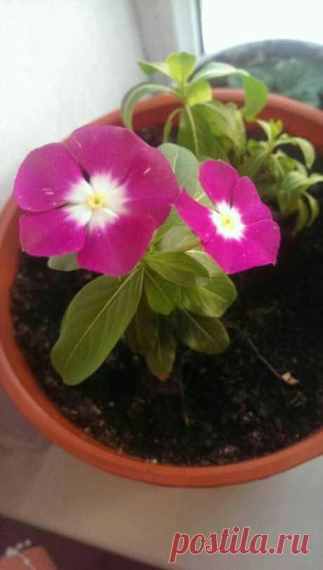 Вопрос-Ответ У меня этот цветок умирает, и у него выпали семена. Выйдет ли из семян это растение? И как называется?