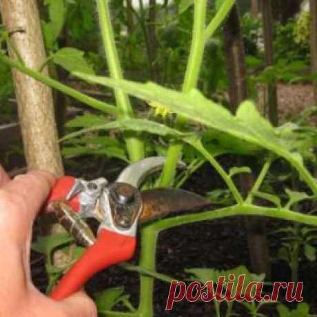 Как правильно обрезать томаты в июле-августе
