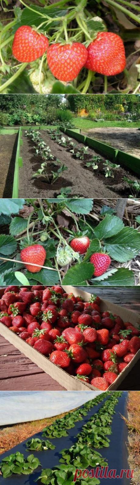 Клубника Альфа: описание сорта садовой земляники, посадка, уход