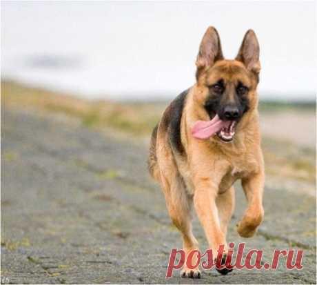 Немцам нужны большие физические и умственные нагрузки. Это собака теряет смысл жизни без работы, лежа на коврике. Она то себе занятие найдет, а вот вы успокоительное для себя нет. Это...