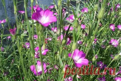 Серия мини МК полевых цветов   Куколь полевой  Вставка в букет с полевыми цветами.
