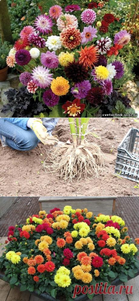Как правильно выращивать георгины