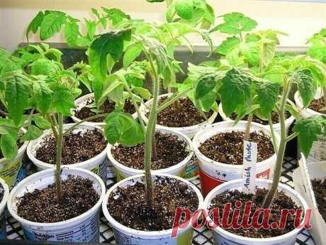 Хотите получить крепкую здоровую рассаду помидор?