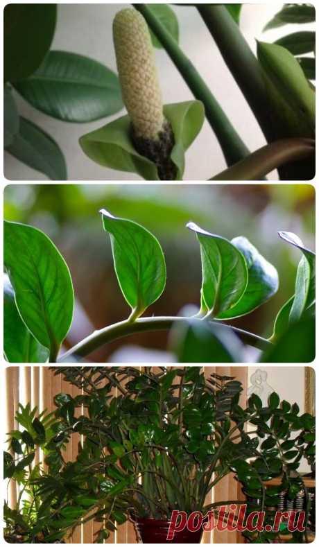 Как ухаживать за «долларовым деревом», чтобы оно зацвело и пышно росло. Советы флористов - My izumrud