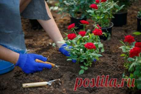 Место для посадки роз, что посадить рядом с розами, где лучше посадить розы на участке
