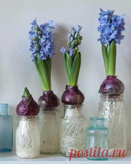 Гиацинты, цветущие на подоконнике  Гиацинты могут радовать вас своим цветением даже в холодные месяцы, им при этом не требуется особых условий. Все, что для этого нужно — луковицы гиацинтов, стеклянные банки или бутылки и обычная вода. В результате в середине зимы вы получите душистые цветы, да и общий вид растения станет радовать вас, ведь его корни причудливо скручиваются и вьются внутри емкости. Следует выбирать банки с узким горлышком, чтобы луковица не была погружена ...