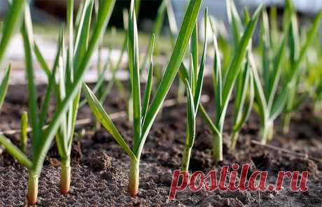 Чем подкормить чеснок весной, посаженный под зиму, чтобы не желтел и был крупный, удобрения, народные средства, отзывы Чеснок, который вы посадили под зиму, весной нужно обязательно подкормить. Рекомендации опытных огородников подскажут, какие удобрение и когда использовать.