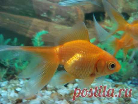 Как выбрать аквариум для золотых рыбок? | nashi-pitomcy.ru