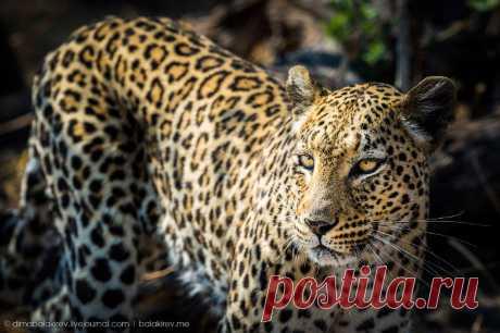 Леопарды на охоте