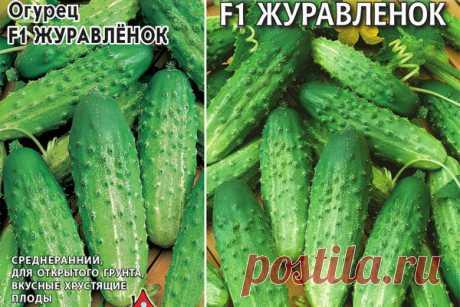 Огурец Журавлёнок F1: описание, отзывы, фото, характеристика сорта, достоинства и недостатки, особенности выращивания, урожайность
