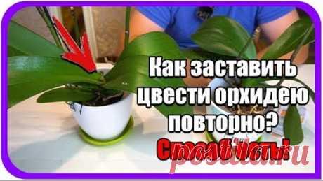 Орхидея домашняя. Как заставить цвести орхидею в домашних условиях повторно. Янтарная кислота.