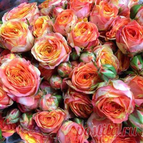 Пионовидные кустовые двухцветные розы.